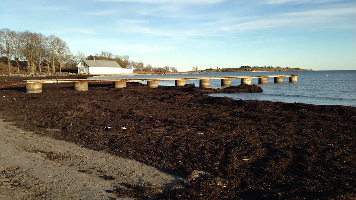 Stranden i Slite, fylld av tång. Foto: Katarina Hedström, SR Gotland