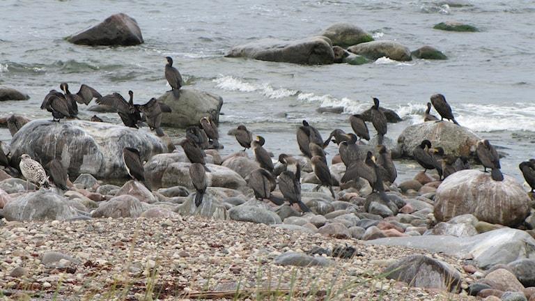 Skarv vid strandkanten. Foto: Camilla Körkander/Sveriges Radio