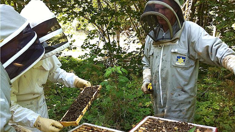 Länsstyrelsens bitillsynsmän undersöker ifall en biodling drabbats av amerikansk yngelröta. Foto: Daniel Värjö/Sveriges Radio