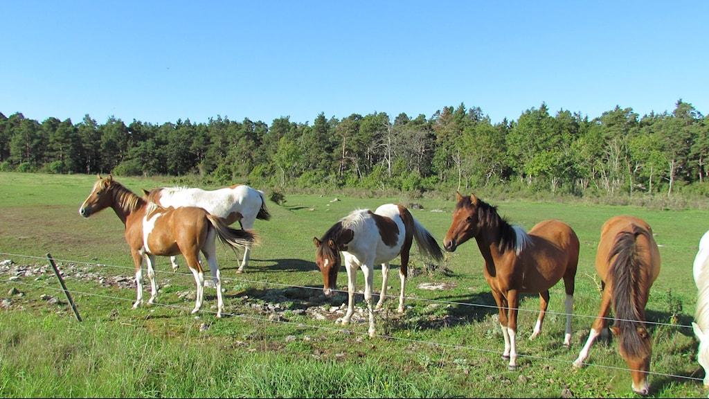 Hästar. Foto: Tomas Ardin/Sveriges Radio
