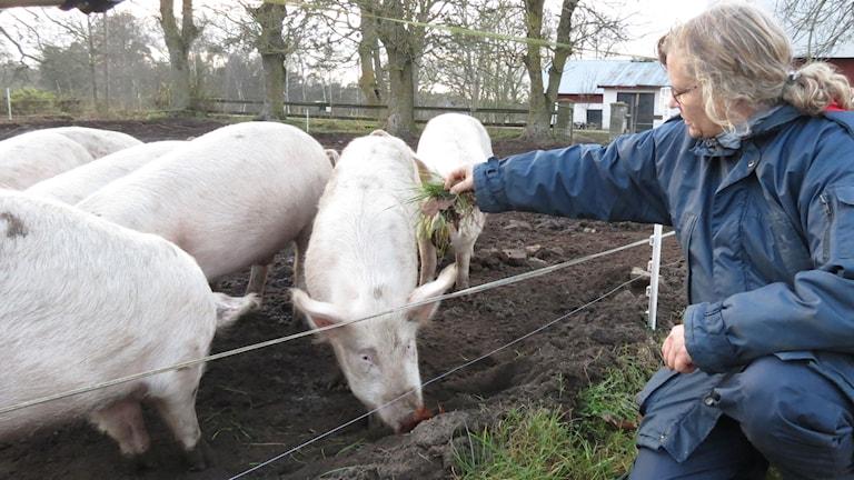 Ingela Olsson i Havdhem är en av få grisbönder som vaccinerar sina grisar mot galtlukt istället för kastrering. Foto: Anna Jutehammar/ P4 Gotland