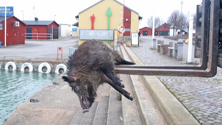 Vildsvin som flutit iland i Visby hamn. Foto: Leif-Arne Undvall