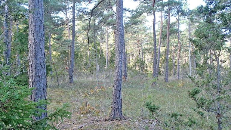 Naturtyp: trädkladd betesmark. Foto:  Ingrid Thomasson/Gotlands länsstyrelse