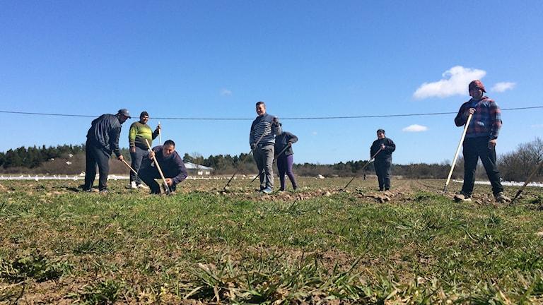 EU-migranter vill hellre jobba än tigga. I Hejdeby rensar de ogräs. Foto: Hanna Sihlman / SR Gotland
