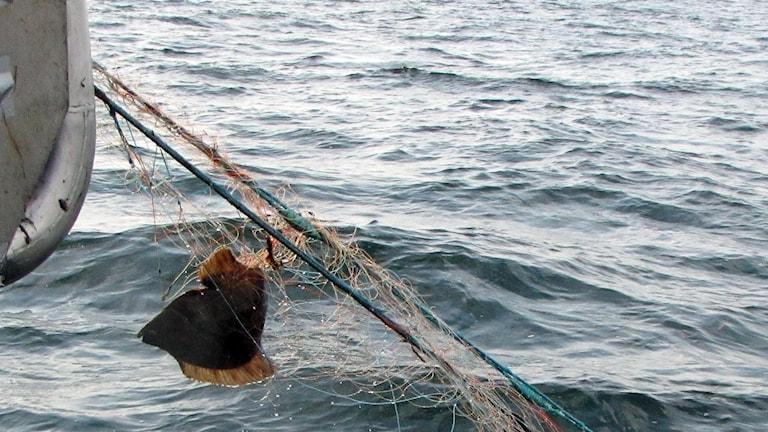Fiskenät med flundra. Foto: Johan Hellström/Sveriges Radio