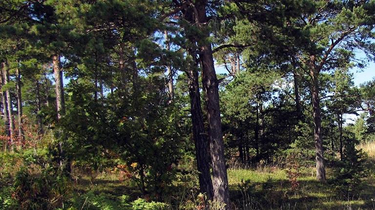 Skog. Foto: Gunnel Wallin/Sveriges Radio