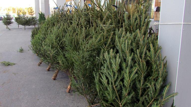 Julgransförsäljning. Foto: Jonas Neuman/Sveriges Radio