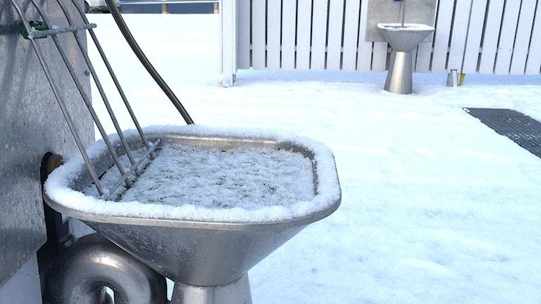 Latrin som frusit i utslagsback Foto Lasse Ahnell Sverigesradio