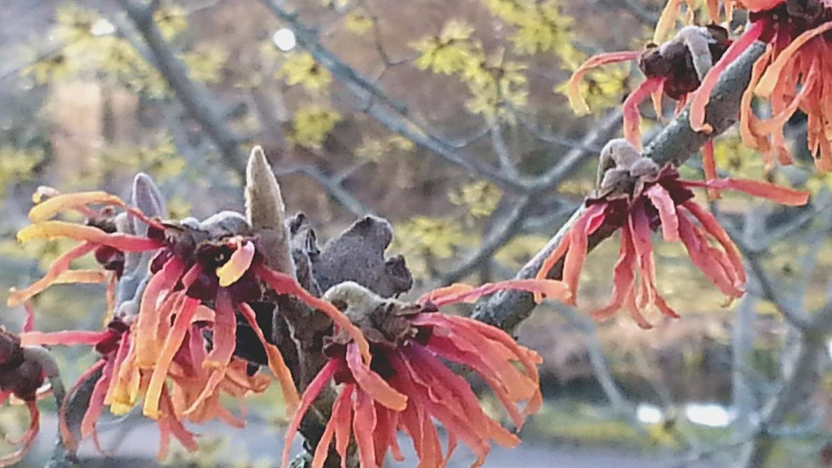 Trollhassel i Botaniska trädgården i Visby