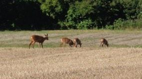 Rådjur på Gotland