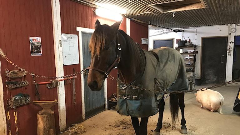 Hästen Belker