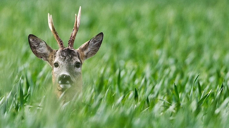 Rådjur kan vara ett stort bekymmer för skogsägare på Gotland.