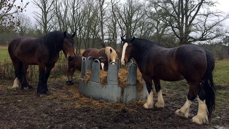 Världens största hästra Shirehästen, bredvid en Ardennerkompis i Fröjel