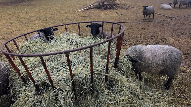 Lamm äter