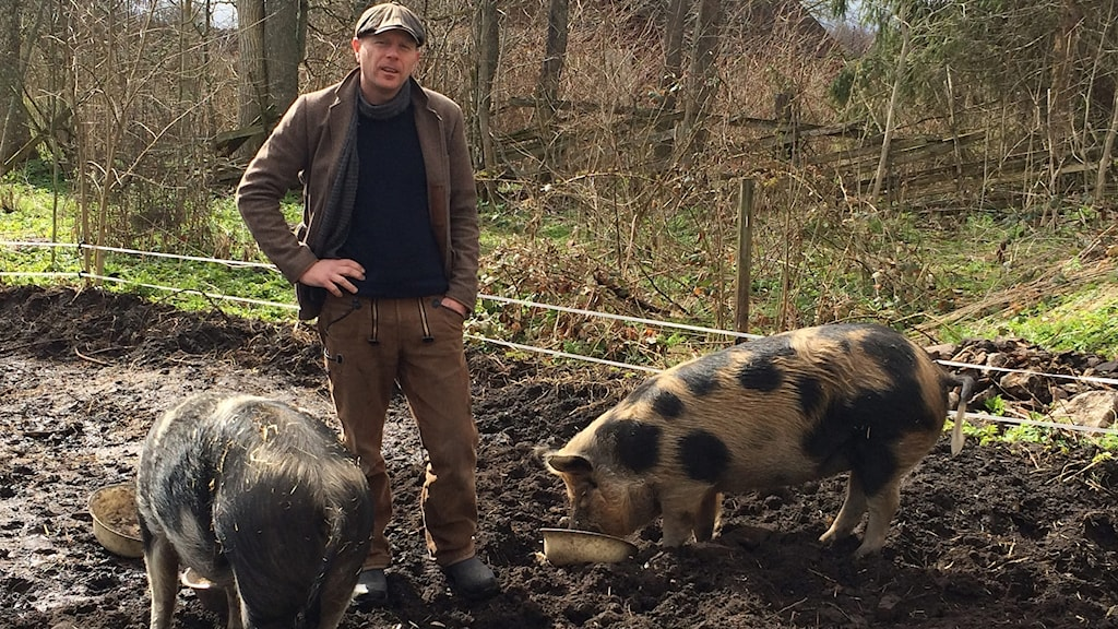 Stephen Chadwick från England matar sina grisar.