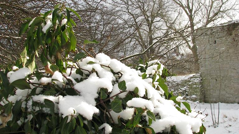 Murgröna på vintern