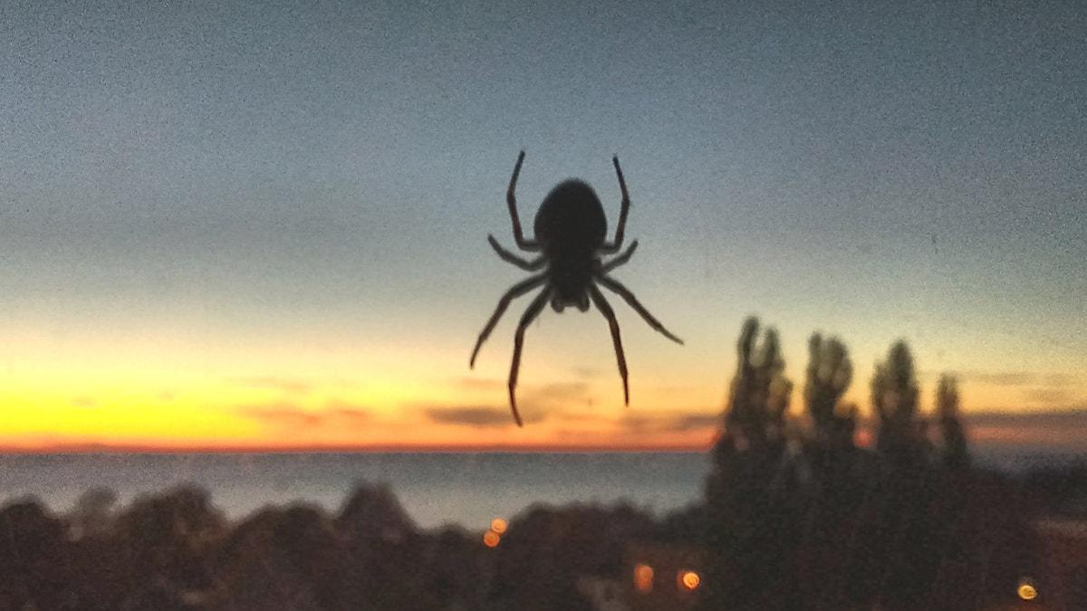 Spindel i solnedgång