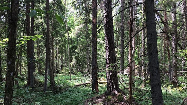 Skog i Bäl.