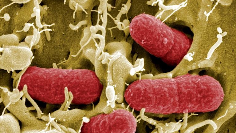 Ehecbakterier