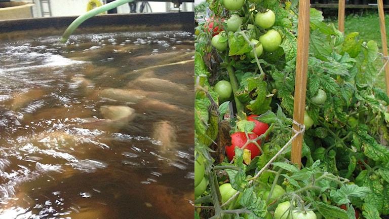 I Burgsvik vill man kombinera odling av fisk och tomater.