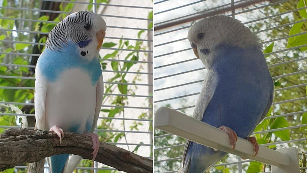 Bilden är tvådelad: Till vänster en undulat; till höger en annan undulat.