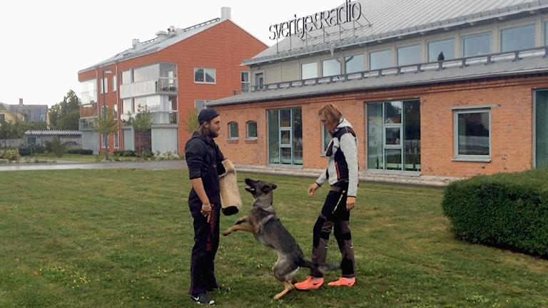 Jakob Nilsson låter sig attackeras av Ulrika Ronströms schäfer Olfine.