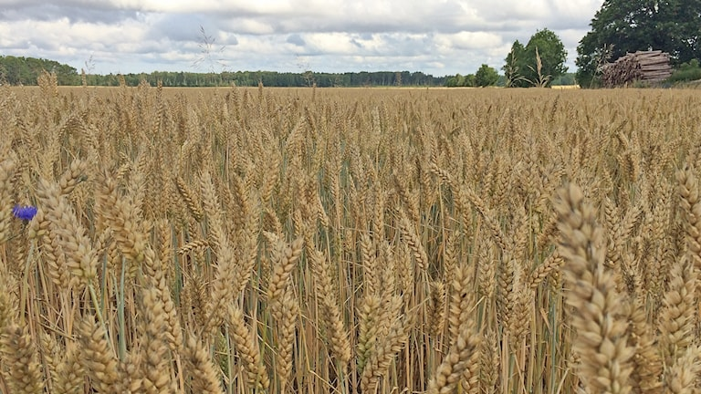 skörd vete veteskörd spannmålsskörd spannmål