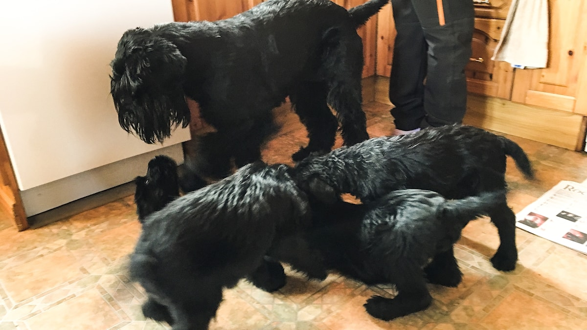 En hög med hundar