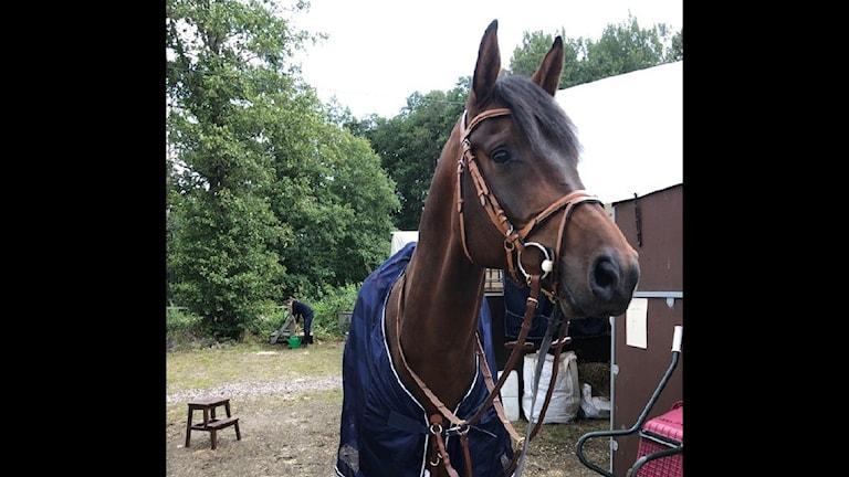 Hästen DiMarabou.