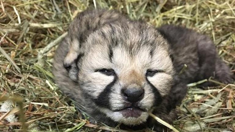Ansiktsbild på en gepardunge som ligger på hö.