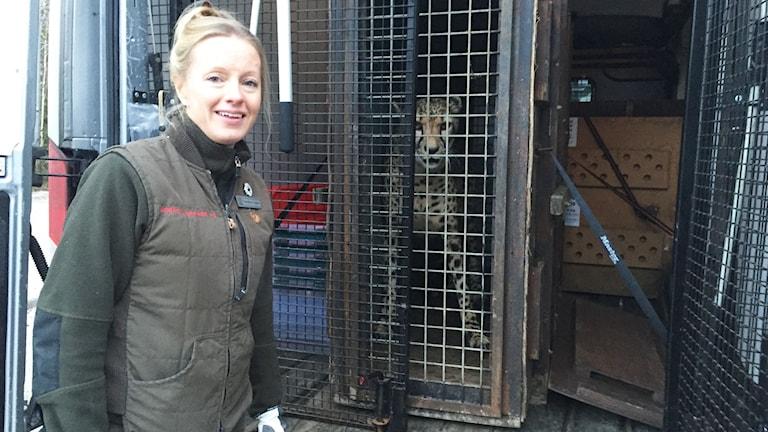 Therese Hård veterinär står framfrör bilen där en gepard finns bakom en nätdörr.
