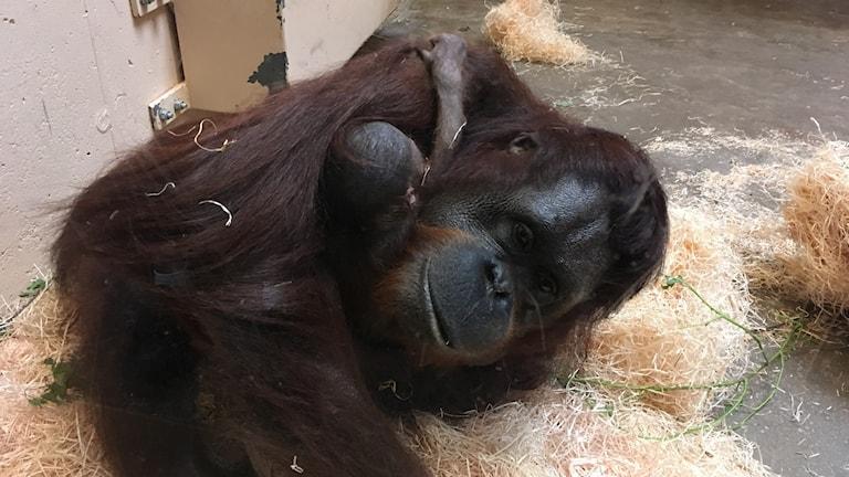 Orangutangbebis med sin mamma Sabine