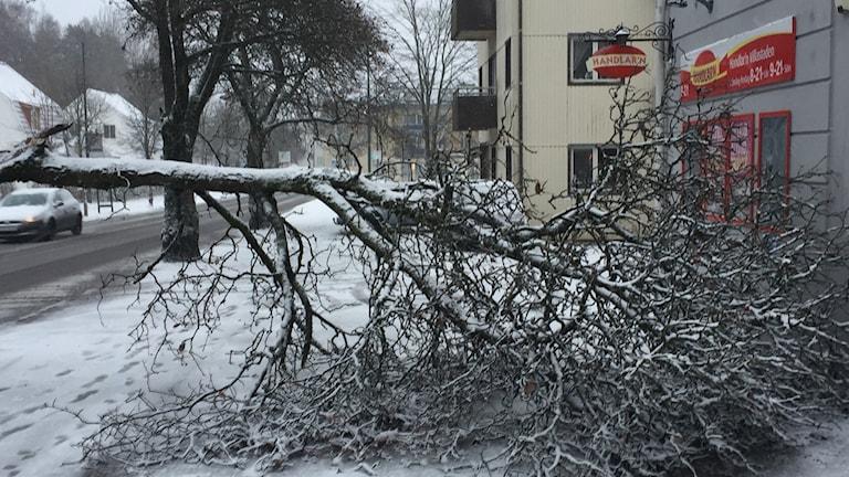 Nedfallet träd på Brämhultsvägen i Borås.