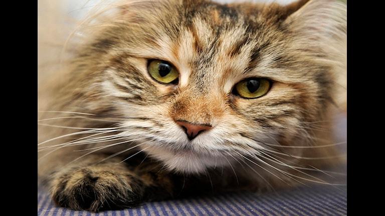 Katt Foto: Anders Wiklund/TT