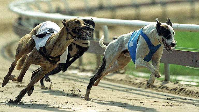 Greyhoundhundar. Foto: Scanpix.