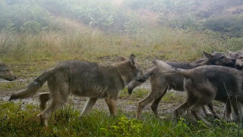 tre vargar som springer på en grön äng.