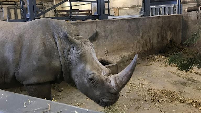 En noshörning