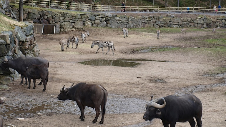 Borås djurpark tappar besökare på grund av regnet.