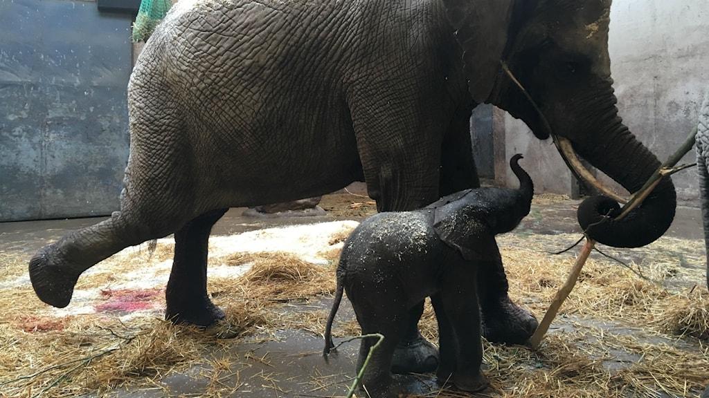 Elefantmamma tillsammans med sin nyfödda elefantbebis