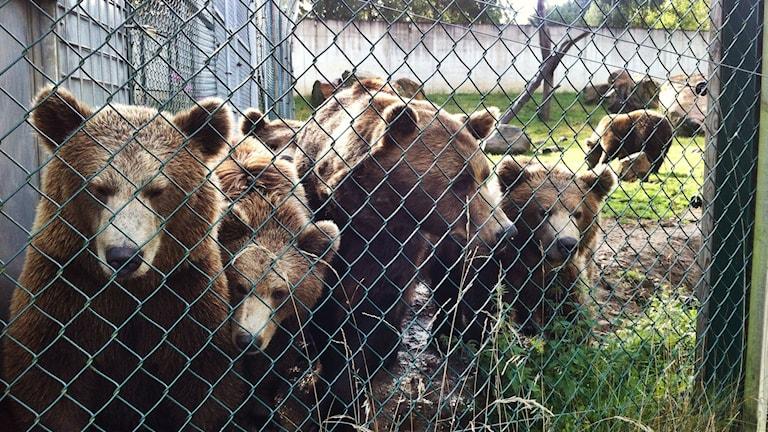 Björnarna på Borås djurpark. Foto: Lisa Wahlström/SR