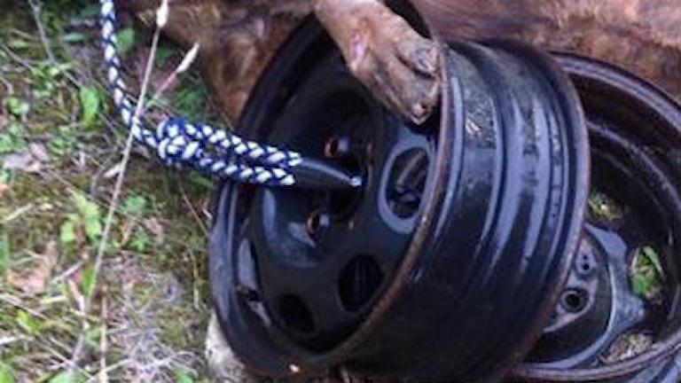 Hunden hittades sänkt med fälgar. Foto Johan Lindström