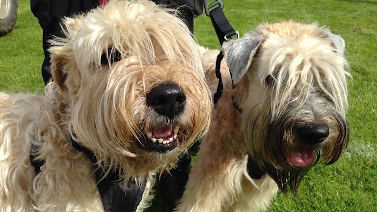 Hundarna Molly och Daisy besökte Södra Älvsborgs Kennelklubbs årliga nationella hundutställning på Ryda Sportfält i Borås. Foto: Ronja Ikatti/Sveriges Radio