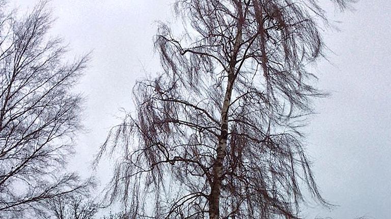 Stormen Helga blåser i träden i Ulricehman Foto: Birgitta Andersson