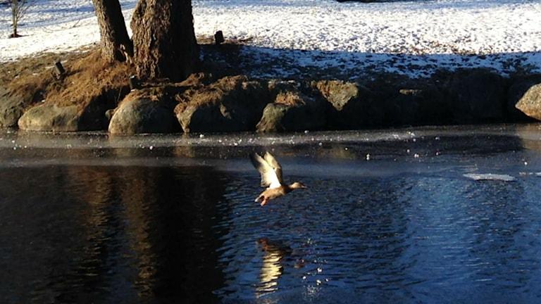 Fågel som flyger över viskan. Foto: Camilla Walldán/SR