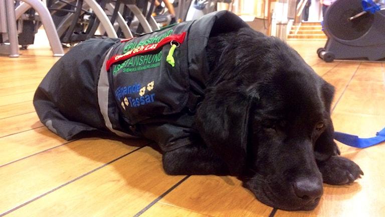 Hunden Dexter, en svart labrador, ligger och vilar bredvid löpbandet Frida går på. Foto: Olivia Ochoa/SR.