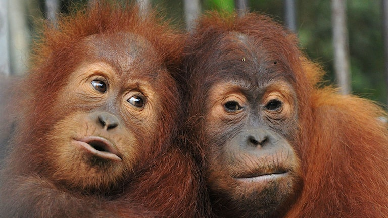 Orangutanger.