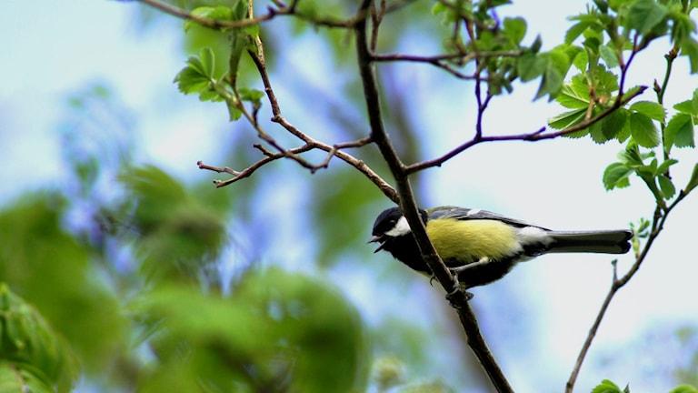 Talgoxe som sjunger från en gren.