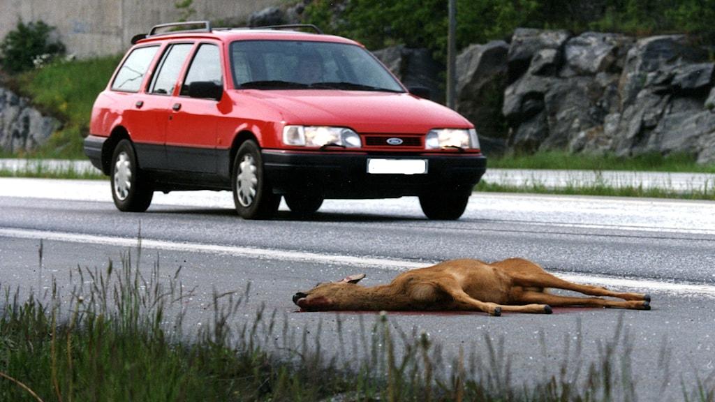 Antalet trafikdödade rådjur ökar explosionsartat. Foto: Björn Larsson Ask/SCANPIX.