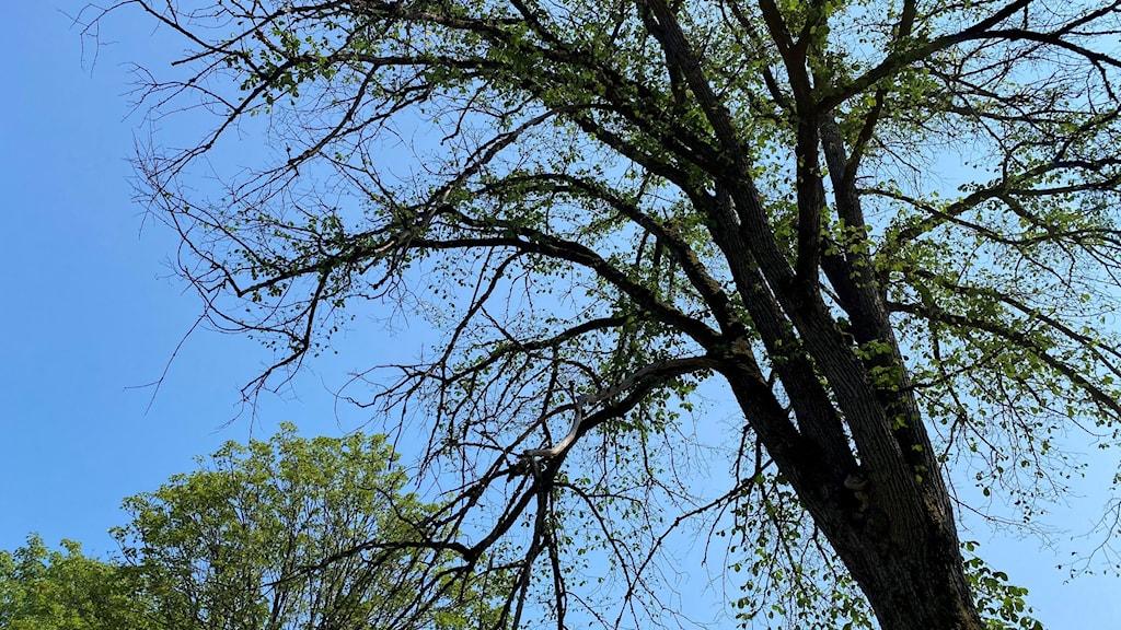 Ett almträd i Borås stadspark som misstänks ha drabbats av almsjuka. Lövverket är glest.