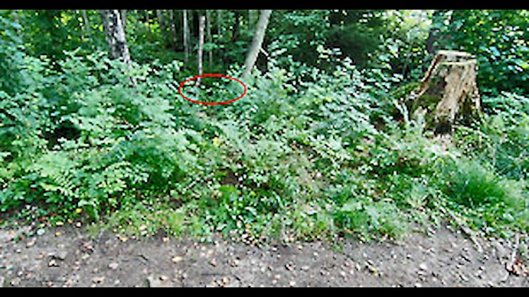 Några meter från stigen hittades flickan. Foto: Polisens förundersökning.Några meter från stigen hittades flickan. Foto: Polisens förundersökning.Några meter från stigen hittades flickan. Foto: Polisens förundersökning.